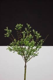 zimmerbäume warum weniger mehr ist welche ihr euch