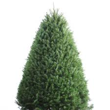 Christmas Tree Seedlings by Shop 6 7 Ft Fresh Douglas Fir Christmas Tree At Lowes Com