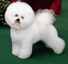 Cute Non Hypoallergenic Dogs by 18 Cutest Non Shedding Dogs Cutest Puppies Ever Images