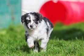 Small Non Shedding Dogs Australia are australian shepherds hypoallergenic canna pet