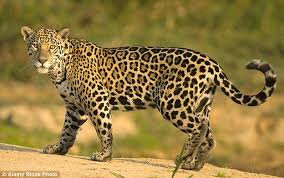 The meaning and symbolism of the word Jaguar