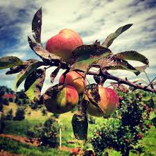 Iowa Pumpkin Patches 2015 by Guide To Orchards And Pumpkin Patches In The Corridor