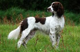 dog breeds that shed the most hair