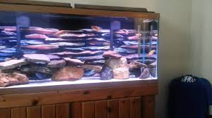 Best 55 Gallon African Cichlid Tank Ever! - YouTube Httpwwwaquariuesigngroupcomdataphotos Low Tech Tank Showandtell Low Tech Can Be Lush Too The Aquascaping Styles Aquariums Planted Aquarium And Fish Tanks 101 Best Small Size Images On Pinterest Aquarium Nature Style Aquascape Awards Best Substrate For Betta 268993 Concave Convex Triangular Rectangular Aquascapes Aquascapers With Plastic Plants Only _ Ideas 106 Fluval Edge Inspiration Ohko Stone Forum Art Theories Tips Keeping Basics Love