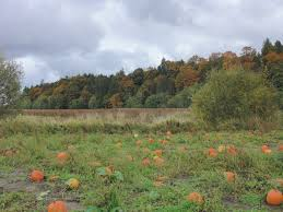 Snohomish Pumpkin Patch by Pumpkin Patch Gardening In My Rubber Boots