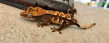 Halloween Pinstripe Crested Gecko by Halloween Crested Gecko For Sale Online Baby Halloween Crested