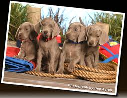 Do Long Haired Weimaraners Shed by Diamond Mk Weimaraner