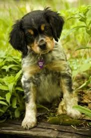 Do Brittany Spaniels Shed Hair by French Brittany Spaniel Dog Breed Information And Pictures