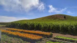 Kent Island Pumpkin Patch by Harvesting Happiness At Kohala Mountain Farm Big Island Now