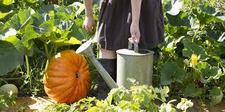 Fertilizer Requirements For Pumpkins by Planting Pumpkin Seeds How To Grow Pumpkins