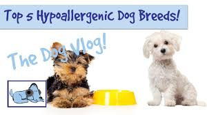 Hypoallergenic Dog Breeds That Dont Shed by Top 5 Hypoallergenic Dog Breeds Youtube