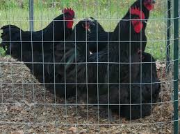 32+ Black Orpington Hatching Eggs - Buy It Now! Postage Paid ... Breeding Golden Duckwing Marans Backyard Chickens Best 25 Hatch Eggs Ideas On Pinterest Candling Chicken Easter Egger Or Olive Eggar Hatching Types Of Chickens Backyard Chicken Zone Black Copper Marans Hatching Eggs 12 2017 Groundhog Day Hatchalong The Chick Veterinary Care For A Best Tavuk Biefelder Images 229 9 Euskal Oiloa Marranduna Basque Hen Elite Poultry Truth About Pumpkin Seeds Worms Is My Pullethen Erelcock