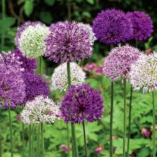 bulbs for southern zones big impact allium mixture
