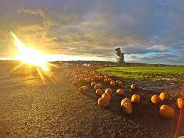 Kent Farms Pumpkin Patch by Carpinito Brothers Farm Pumpkin Patch And Corn Maze Washington