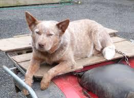 Blue Heeler Shedding In Winter by Woolshed 1 Farm Working Dogs In New Zealand 1 Breeds