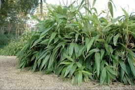 sasa palmata nebulosa plantes extérieures