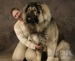 5 do akitas shed bad huge dogs gallary big dog pictures