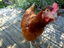 Best Backyard Chickens Uk - 28 Images - Frozenchickens Various ... 14 Best Chicken Breeds Images On Pinterest Grandpas Feeders Automatic Feeder Standard 20lb Feed Backyard Chickens Norfolk Va 28 Run Selling Eggs From Uk My Marans Red Pyle Brahmas And Other Colours Backyard Chickens Page 53 Of 58 Backyard Ideas 2018 Derbyshire Redcaps Uk Cleaning Stock Photos Images Quietest Breeds Uk With Quiet Coop How To Keep Your Hens Laying All Winter Long Top 5 Tips A Newbie The