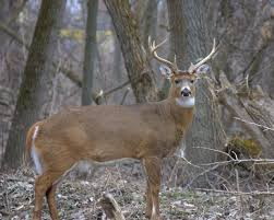 When Do Whitetails Shed Their Antlers by The Best Time To Find Shed Deer Antlers In Michigan Usa Today
