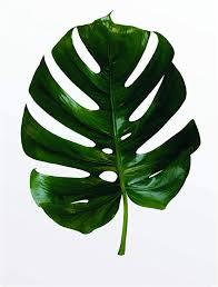 komar wandbild monstera leaf poster bild wohnzimmer schlafzimmer dekoration kunstdruck ohne rahmen p057 50x70 wall painting 50 x 70