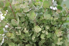 eukalyptusbaum 11 tipps zu pflege überwintern