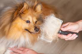 Dogs That Shed Less Hair by Why Dogs Shed Manage Shedding In Dogs