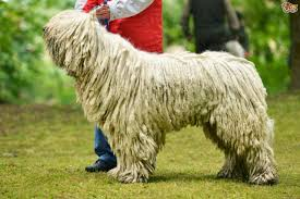 Dogs That Dont Shed Or Stink by Top 10 Dogs That Don U0027t Shed Hair Southern India Aquaculture