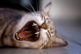 cat dental care dental care for your cat a cat dental guide
