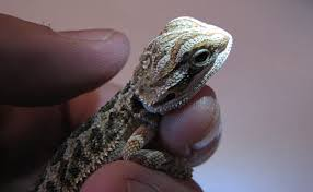 Bearded Dragon Shedding Behavior by Why Is My Bearded Dragon Not Eating 7 Solutions To Help Your