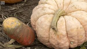 Free Pumpkin Farms In Wisconsin by Pumpkin Picking Time Youtube