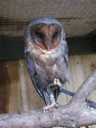 Scotowlblog | The Blog Of The Senior Keeper Of The Scottish Owl Centre Barn Owls On Oak Beam Uk Bird Small Mammal Taxidermist Mike Gadd Owl Family Clipart Night Owl Pencil And In Color Barn Baby By Disneyqueen1 Deviantart All Things Things You Always Wanted To Know About Keeping As Pets Portrait Of A During Falconry Traing Dubai Uae The Centre Staffvolunteers Gallery My Maltese Falcon A Day Falconry Speck The Globe 130109 130110 Wildlife Center Virginia Lydias Video Youtube