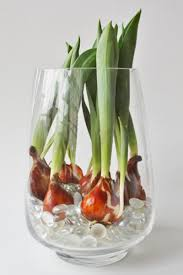 homelife how to grow tulip bulbs in a vase