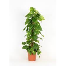 epipremnum pinnatum moosstab 100 cm