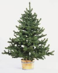Popular Artificial Silver Tip Christmas Tree by Christmas Remarkable Silvertip Fir Christmas Tree Here Is My