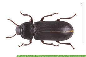 großer schwarze käfer im haus was tun hausgarten net
