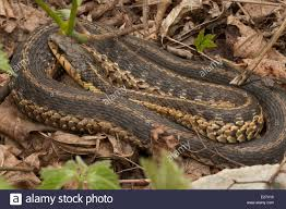 Common Garter Snake Thamnophis Sirtalis Stock Photos & Common ... Backyard Snakes Effective Wildlife Solutions Snakes And Beyond 65 Best Know Them Images On Pinterest Georgia Of Louisiana Department Fisheries Southern Hognose Snake Florida Texas Archives What Is That 46 The States Slithery Species Nolacom Scarlet Kingsnake Cottonmouth Eastern Living Alongside Idenfication Challenge The Garden Or Garter My Species List New Engdatlantic