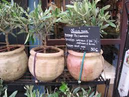 conseils de culture et d entretien de l olivier en pot engrais