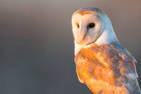 British Barn Owls Struggle To Adapt To Modern Life - BirdGuides White And Brown Barn Owl Free Image Peakpx Sd Falconry Barn Owl Box Tips Encouraging Owls To Nest Habitat Diet Reproduction Reptile Park Centre Stock Photos Images Alamy Bird Of Prey Tyto Alba Video Footage Videoblocks Barn Owl Tyto A Heart Shaped Face Buff Back Wings Bisham Group Bird Of Prey Clipart Pencil In Color British Struggle Adapt Modern Life Birdguides Beautiful Owls Pulborough Brooks The