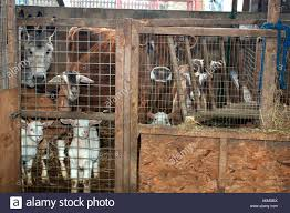 Menagerie Of Animals In A Barn Stock Photo, Royalty Free Image ... 37 Best Goats Images On Pinterest Goat Shelter Farm Animals Clipart Bnyard Animals In A Barn Royalty Free Vector 927 Campagne Ferme Country Living All Men Are Enemiesall Comradesall Equal Pioneer George Washingtons Mount Vernon Nature Trees Fences Birds Fog Mist Deer Barn Farm Competion Farmer Bens Hog Blog Stories Of And Family Stock Horse Designs Learn Names Sounds Vegetables With Jobis Animal Inside Another Idea To Do It Without The Mezzanine But Milking Cows The Cow Milk Dairy Cowshed Video Maine Archives Flavorful Journeys