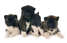 do haired akitas shed akita breed information pictures characteristics facts