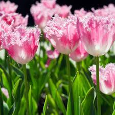 why bulbs don t flower problems with no flowers on tulips