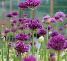 allium hollandicum purple sensation bulbs allium bulbs kelways