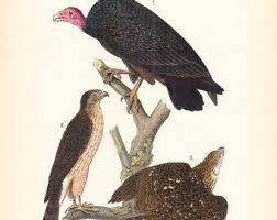 1890 Audubon Bird Print