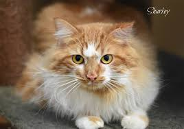 adopt a cat delta animal shelter adopt a cat or in escanaba michigan
