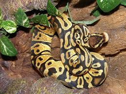 best ball python cages types setup keeping exotic pets