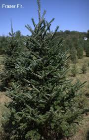 Fraser Fir Christmas Trees by The Ol U0027 Dairy Barn Christmas Tree Farm Christmas Trees