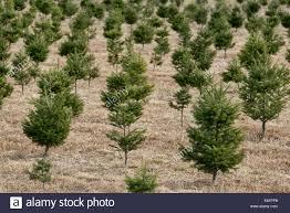 Eustis Christmas Tree Farm by Christmas Trees Growing Stock Photos U0026 Christmas Trees Growing