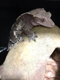 Crested Gecko Shedding Behavior by Crestedgeckos Hashtag On Twitter