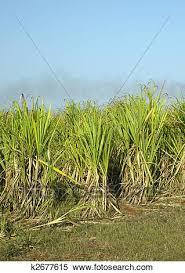 Sugar Cane Field Reni 1 2 Fraga Cuba