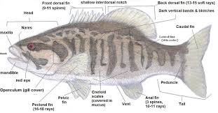 External Anatomy Of Tilapia Fish Adaptive Morphology Sens On Or Structure And Form